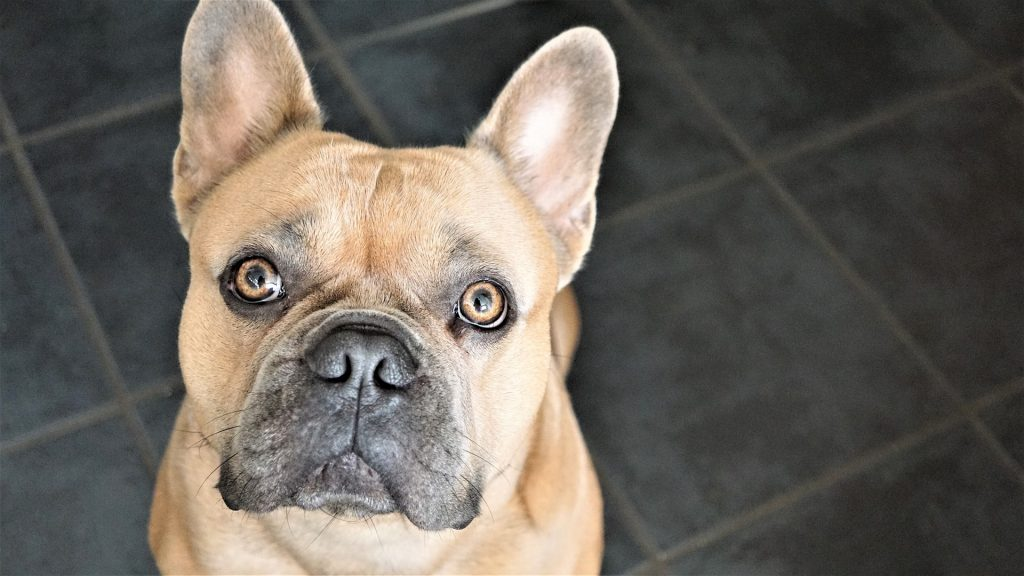 Guide on How to Take Care of a French Bulldog