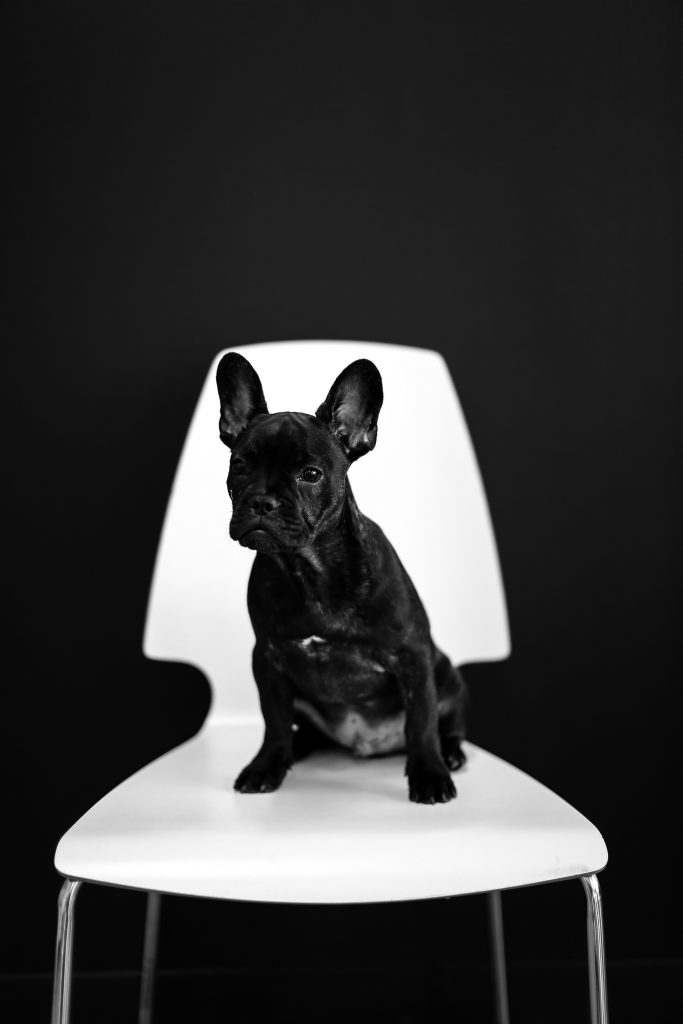 different breeds of French bulldogs black