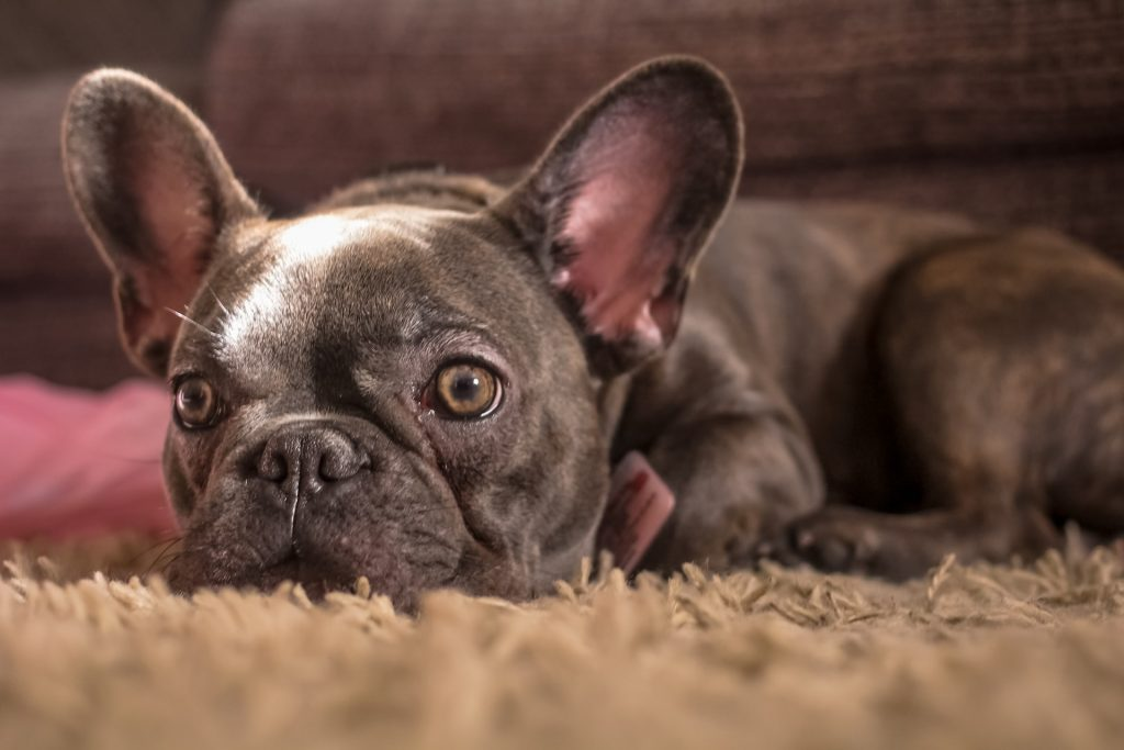 Are French Bulldogs High Maintenance? Find Out Here!