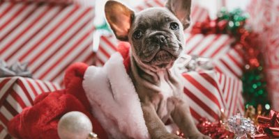 best toys for French Bulldog puppies