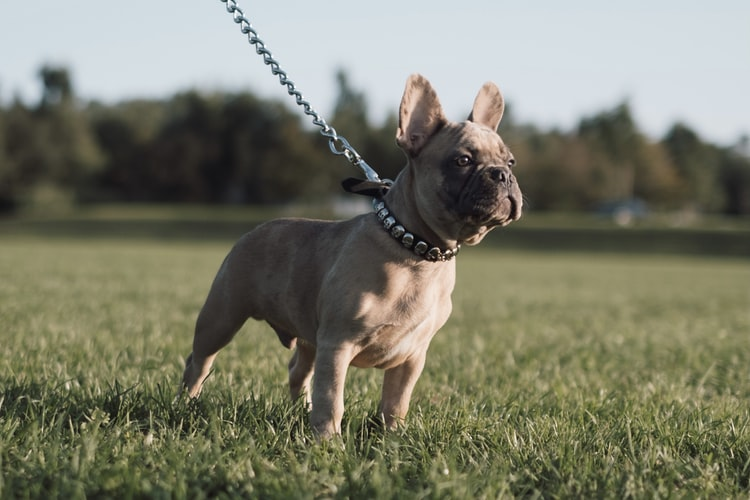 How To Take Care Of a French Bulldog Puppy