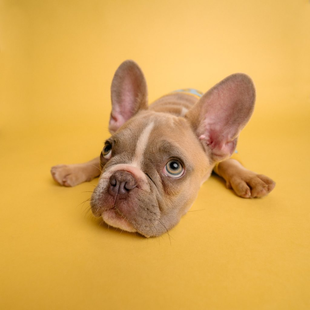 how much do French Bulldogs shed