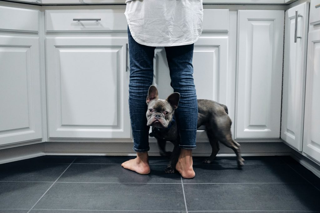 pros and cons of French Bulldogs