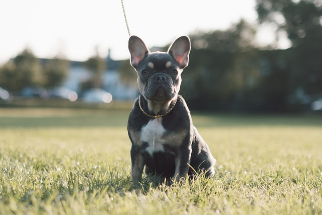 how much exercise does a french bulldog need