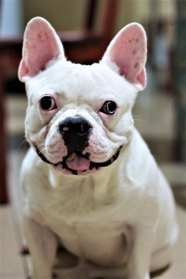 colors of french bulldog