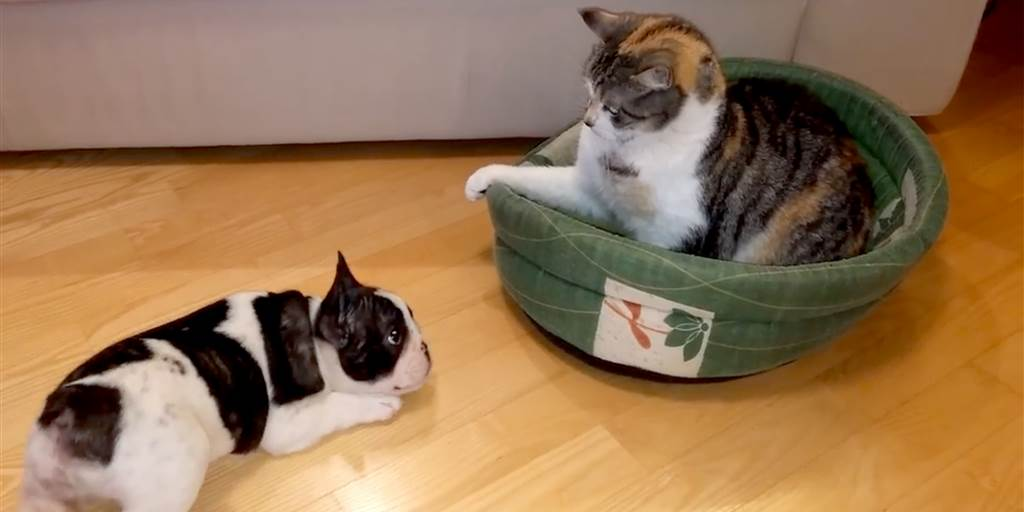 do French Bulldogs get along with cats