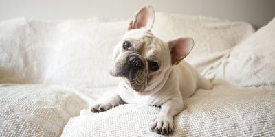 strap and harness for French bulldogs