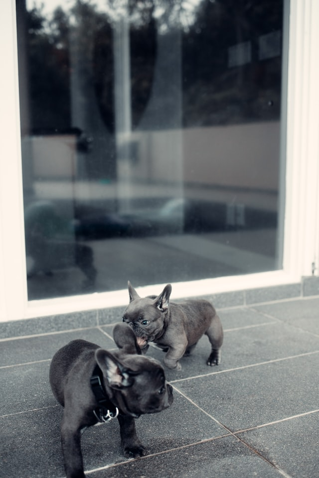 can french bulldogs have puppies naturally