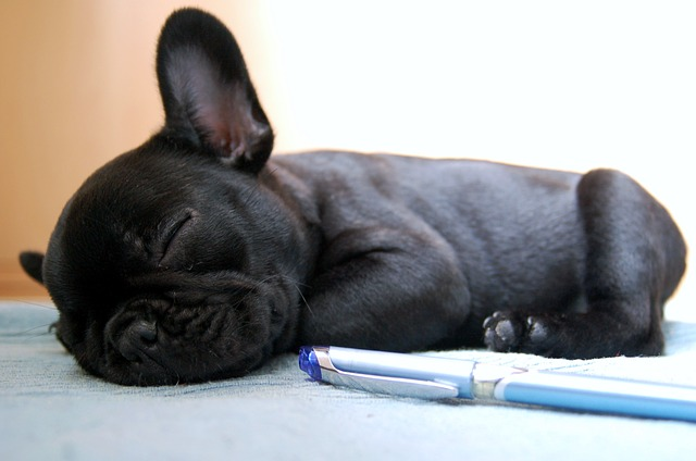 what to look for when buying a french bulldog puppy