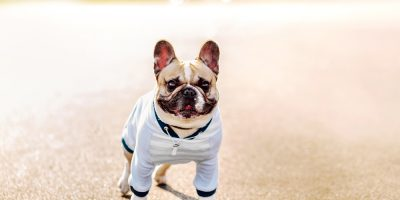 how to train French bulldog pup