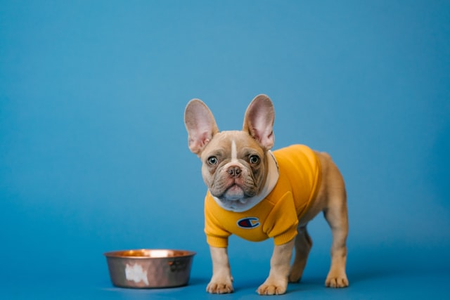 frenchie throwing up undigested food