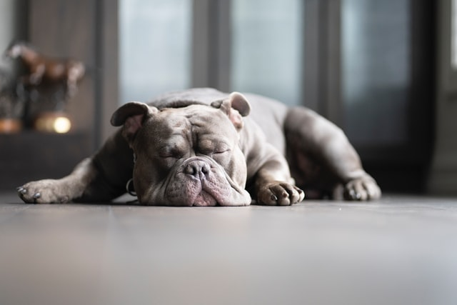 do french bulldogs snore