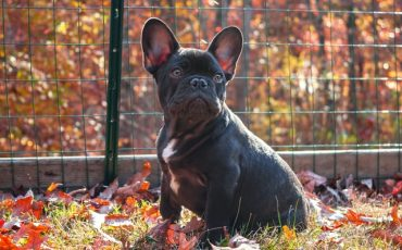 Allergic Reaction French Bulldog Hives: What Are The Causes Of This